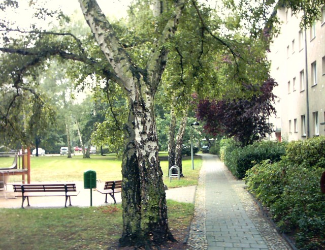 trunks of two birches, a pedestrian path, benches and a lawn